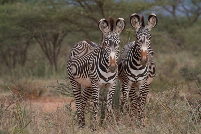 Grevy's Zebra project