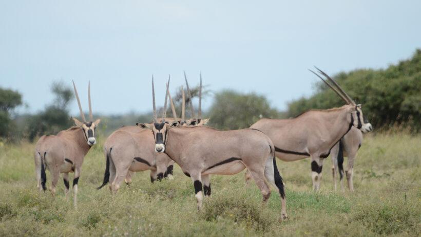 beisa-oryx