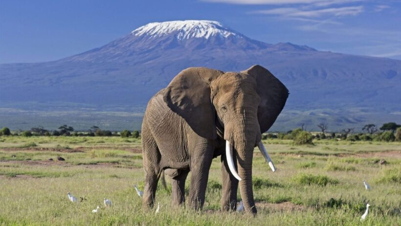 elephant-bull-front-of-kilimanjaro-amboseli
