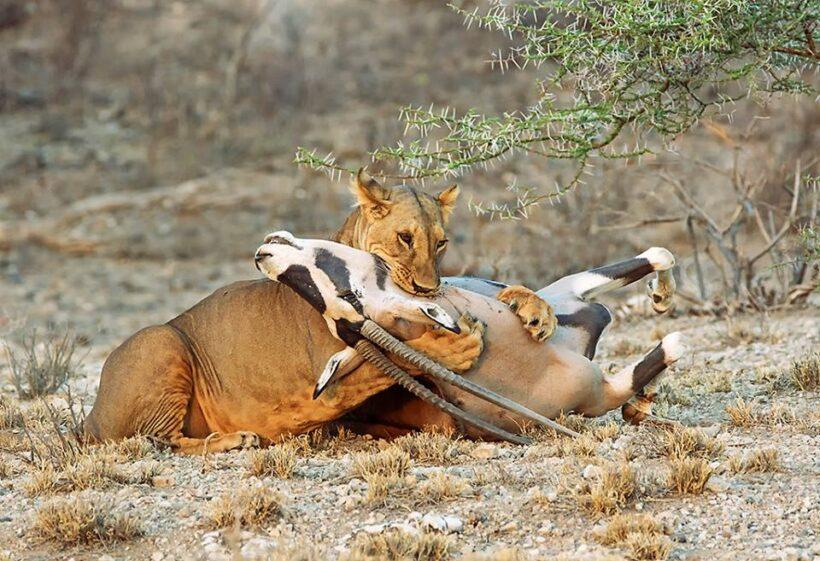 lioness killing oryx