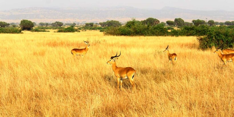 Antelopes-Queen-Elizabeth-National-Park