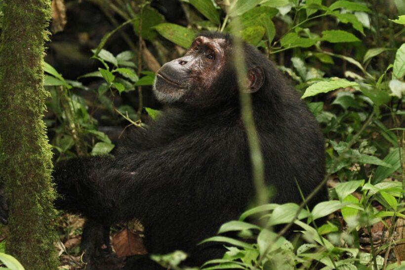 Kibale-National-Park-Uganda-Chimpanzee-MAIN.jpg.1200x800_q85_crop