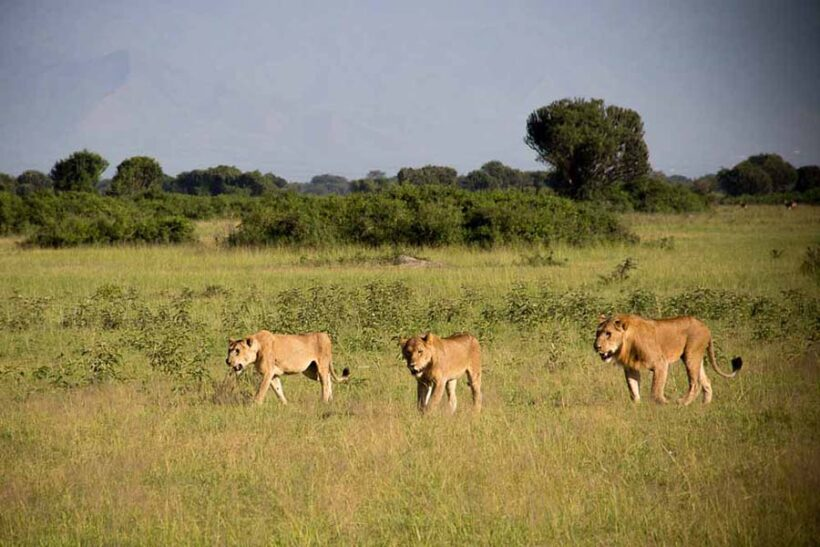 Lions-in-Queen-Elizabeth-National-Park