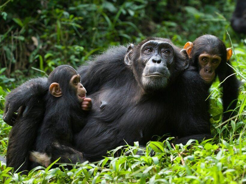 chimpanzees-uganda-kibale-safari