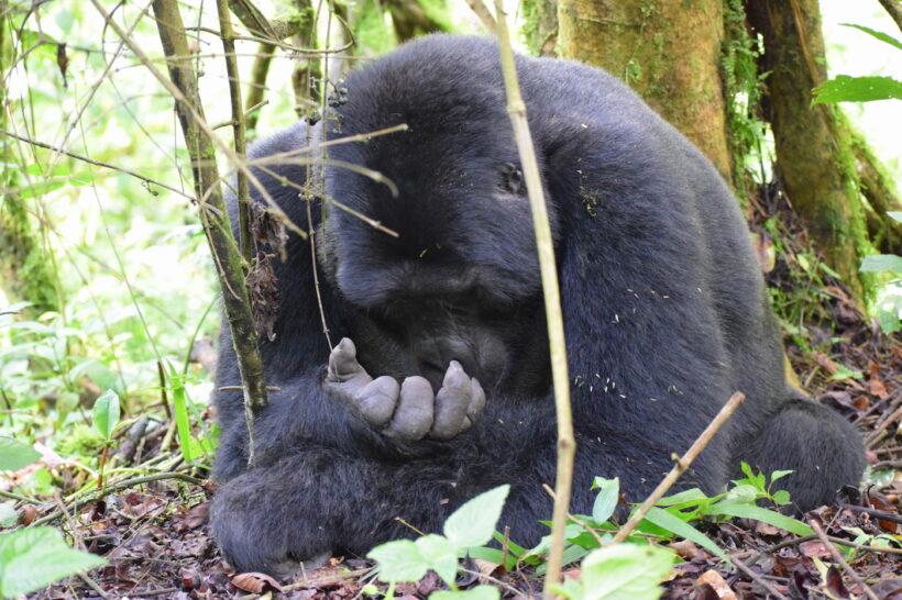 gorilla 9