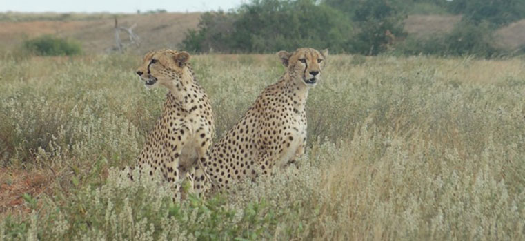 Cheetahs-within-the-sanctuary