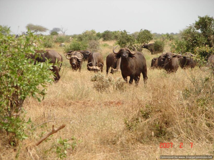 buffaloes in tsavo east