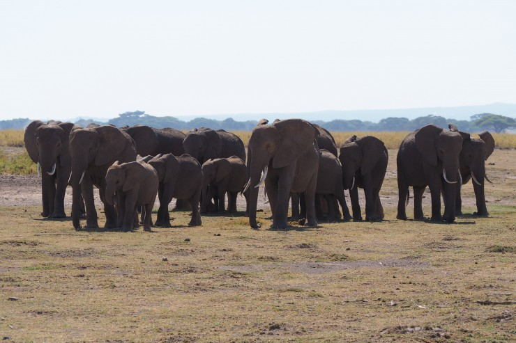 elephants at amboseli