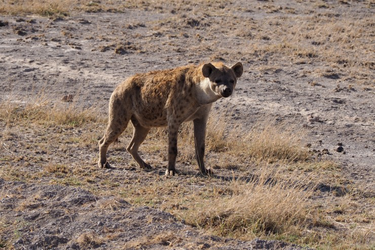 hyena at Amboseli