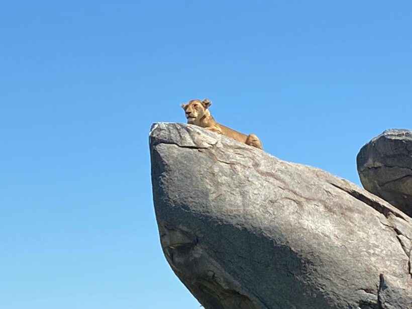 A lion lying on a rock